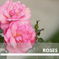 Roses Block Plants page