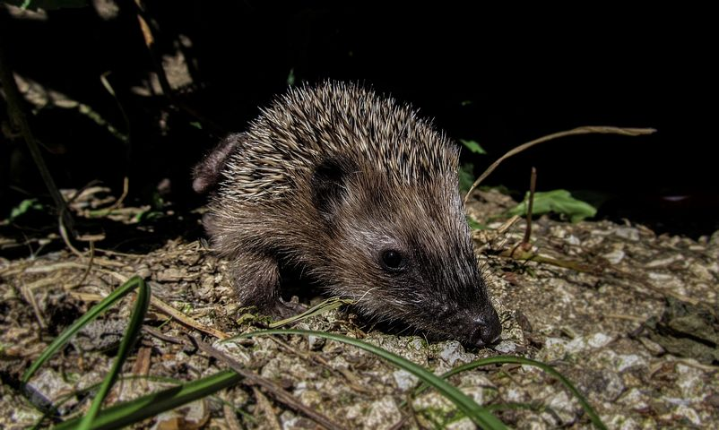 hedgehog-992798__480