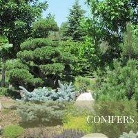 Conifers Block Plants page