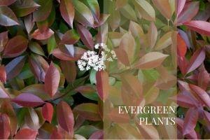 _Evergreens